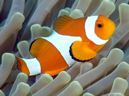 pez payaso 1