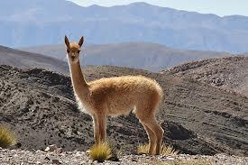 vicuña 1