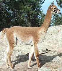 vicuña 2