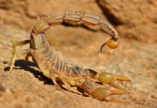 Información sobre el Escorpión dorado 1