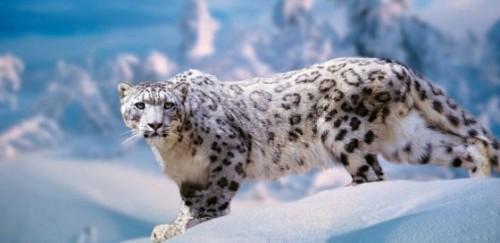 Información sobre el leopardo de las nieves 3