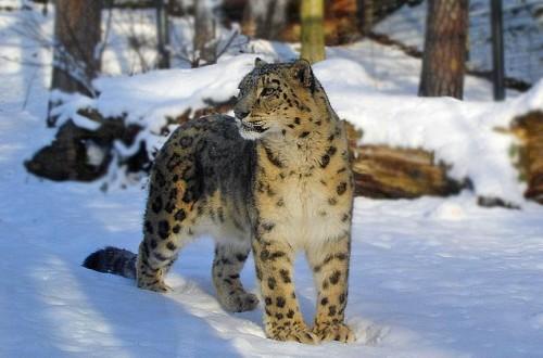 Información sobre el leopardo de las nieves 4