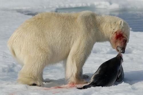 Información sobre el oso polar 4