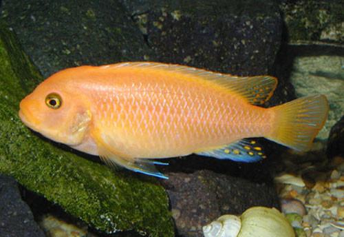 Información sobre el pez Cíclido Cebra 1