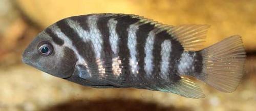 Información sobre el pez Cíclido Cebra 2