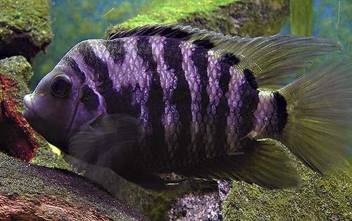 Información sobre el pez Cíclido Cebra 3