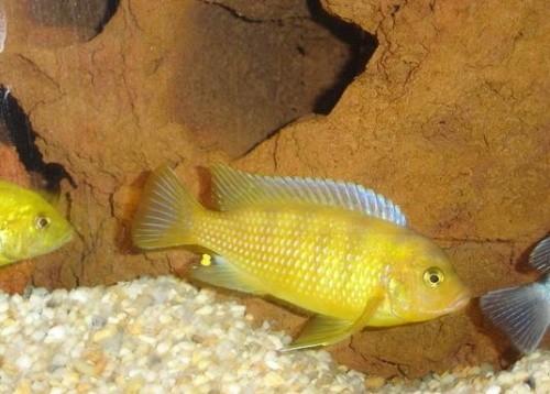Información sobre el pez Cíclido Cebra 4