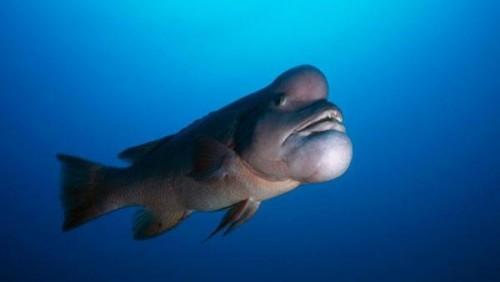 Información sobre el pez gota 3