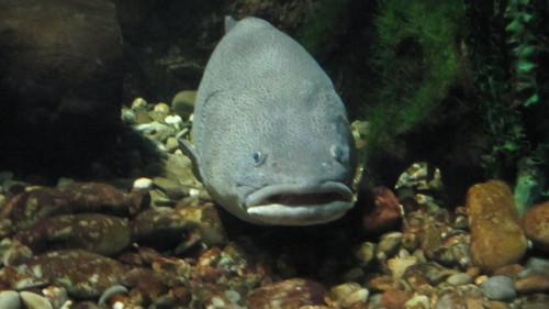 Información sobre el pez gota 4