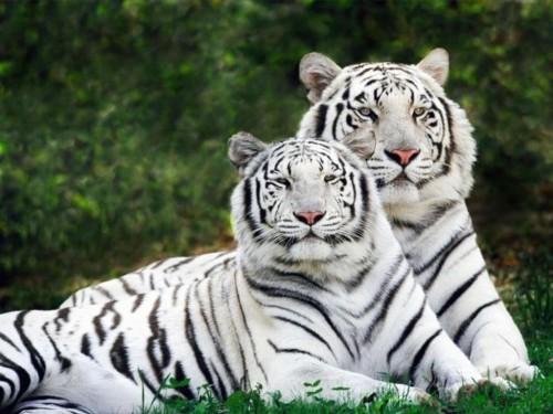 Información sobre el tigre 2