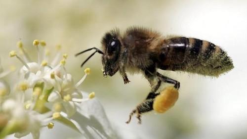 Información sobre la abeja 1