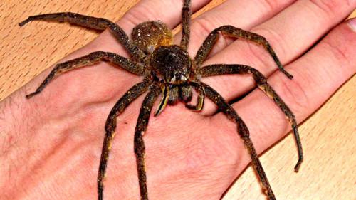 Información sobre la araña errante brasileña 1