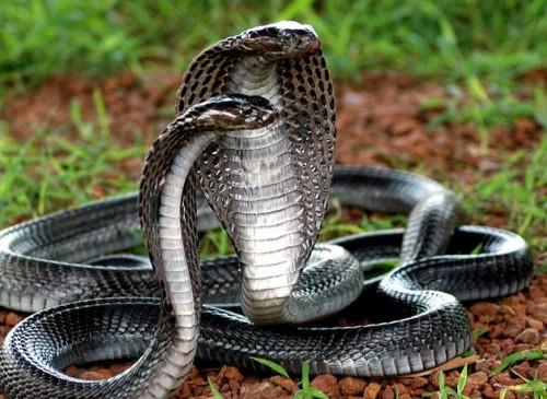 Información sobre la cobra rey 1