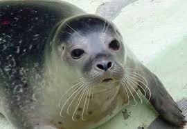 Información sobre la foca monje del mediterráneo 1