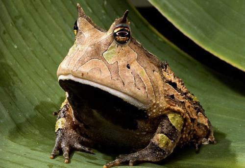 Información sobre la rana cornuda 1