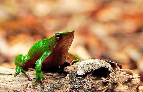Información sobre la rana de Darwin de Chile 2