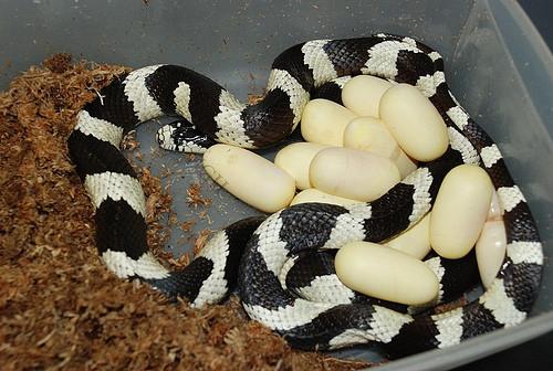 Información sobre la serpiente rey de California 2