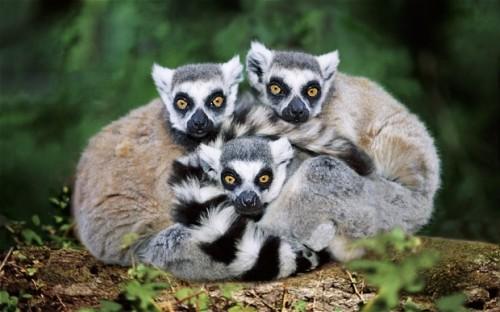 Información sobre los lémures de madagascar 1