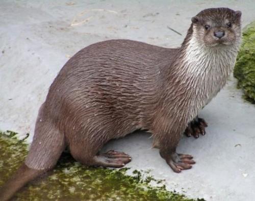 información sobre la nutria marina 6