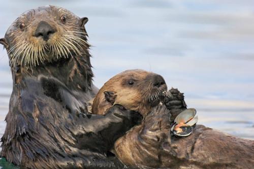 información sobre la nutria marina 7