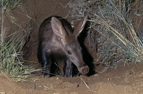 Información sobre el cerdo hormiguero 2