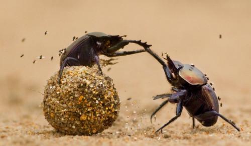 Información sobre el escarabajo estercolero 1