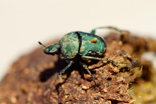 Información sobre el escarabajo estercolero 2