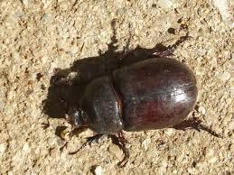 Información sobre el escarabajo estercolero 3