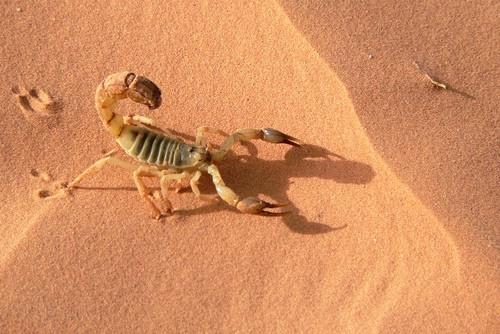 Información sobre el escorpion dorado israelí 4