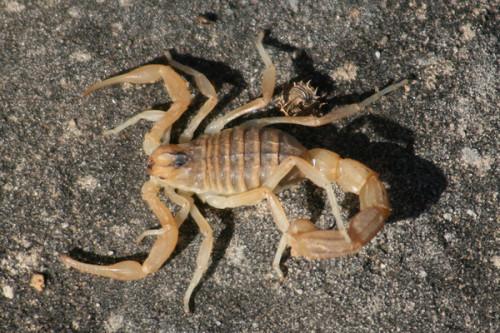 Información sobre el escorpion dorado israelí