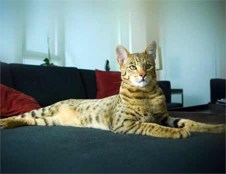 Información sobre el gato ashera royal 1