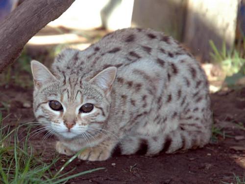 Información sobre el gato ashera snow 1