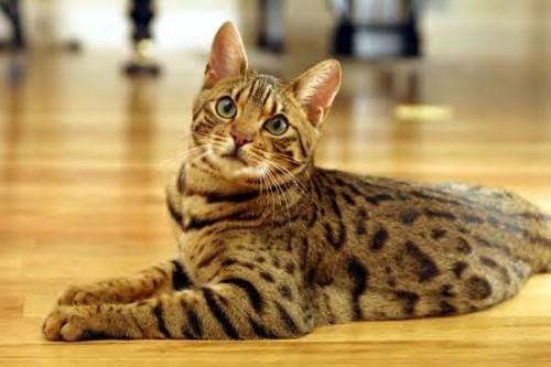 Información sobre el gato asiático humo atigrado 1