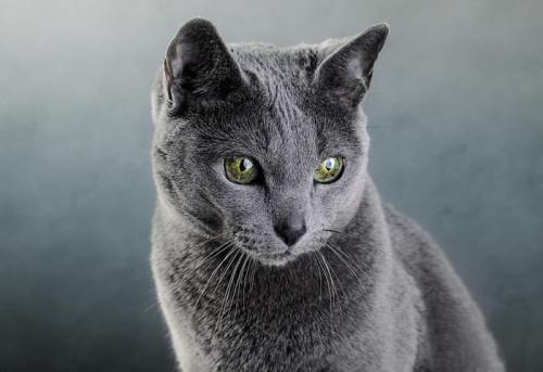 Información sobre el gato azul ruso 2