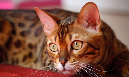 Información sobre el gato bengalí 3