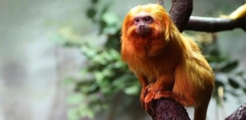 Información sobre el tití león dorado 1