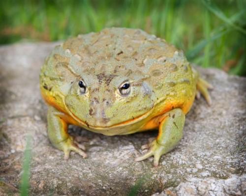 Información sobre la rana toro 1