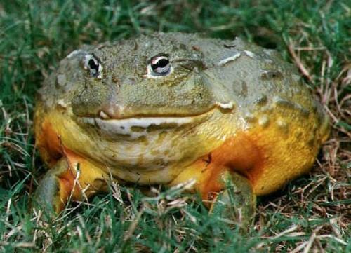 Información sobre la rana toro 2