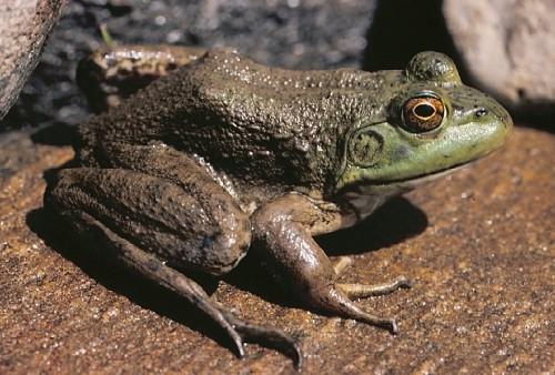 Información sobre la rana toro 3
