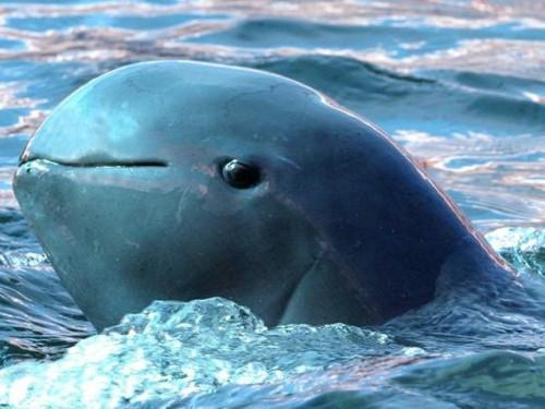 Información sobre la vaquita marina 3