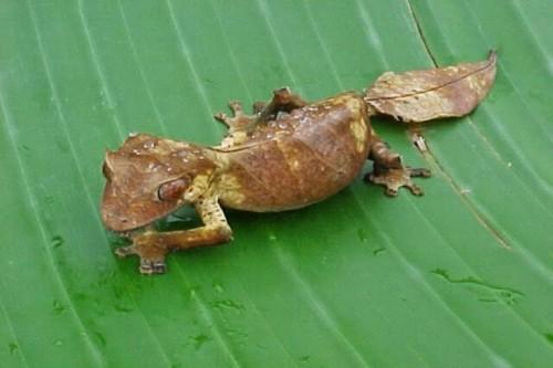 Información sobre el gecko satánico con cola de hoja 3