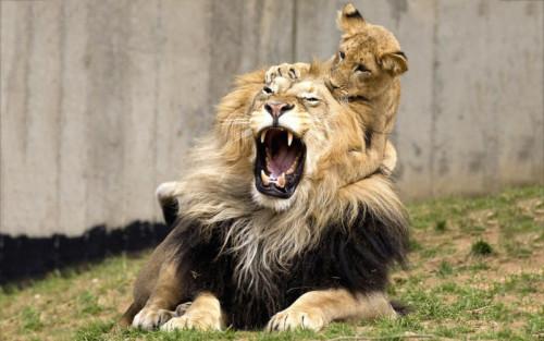 Información sobre el león 3