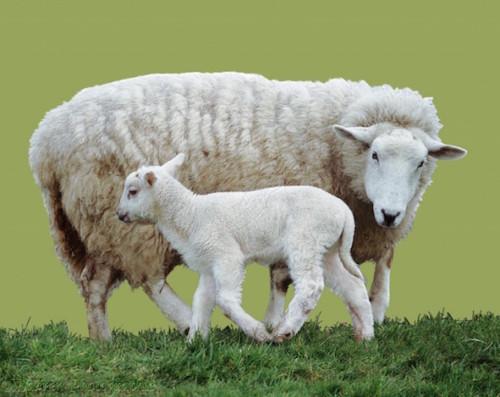 Información sobre la oveja 1