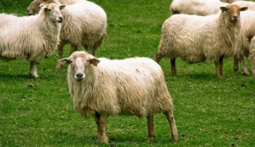 Información sobre la oveja 4
