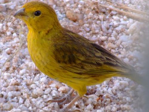 El canario 1