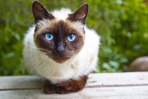 Información sobre el gato domestico 2