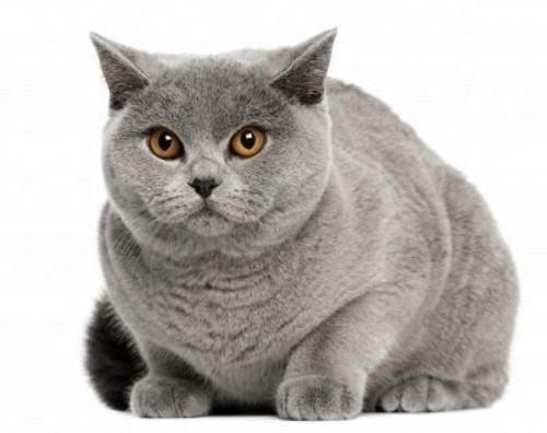Información sobre el gato domestico 3
