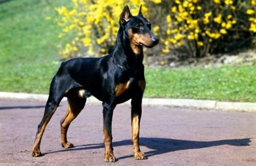 Las 10 razas de perros más inteligentes 5