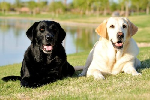 Las 10 razas de perros más inteligentes 7