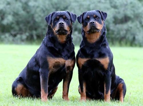 Las 10 razas de perros más inteligentes 9